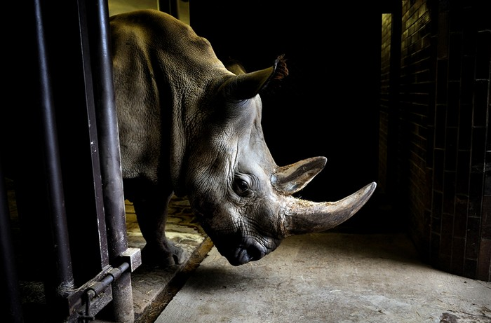 Four of the last seven Northern White Rhinos in the world are airlifted from a zoo in the Czech Republic to a park in Africa in an attempt to save their entire species. [2009] Source: National Geographic