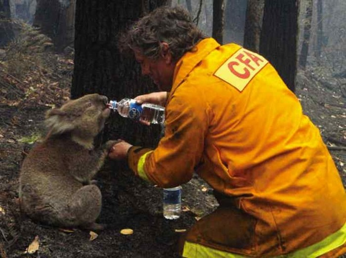 A fireman rescues a koala during Australian bushfires. [2009] Source: Unknown Photographer