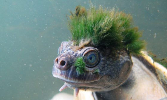 This punk turtle can breathe through its genitals