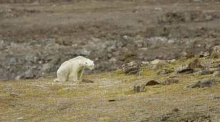 Saddening video of the polar bear's plight